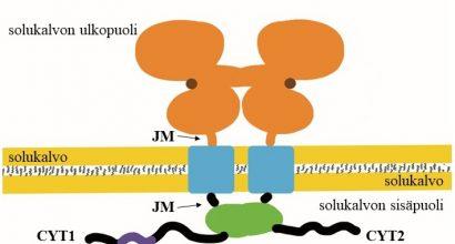 Havainnekuva ErbB4 JM-a CYT1 + JM-a CYT2 -reseptorista