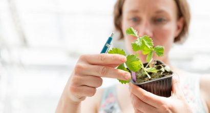 Tutkija katsomassa mansikantaimia kasvitieteellisen puutarhan tutkimuskasvihuoneessa