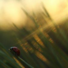 Leppäketrru orrella auringonlaskussa
